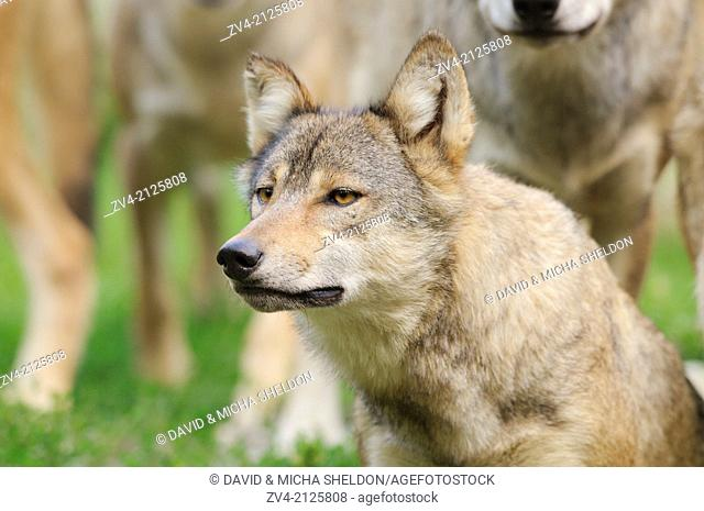 Portrait of an Eastern wolf (Canis lupus lycaon), Germany, Europe