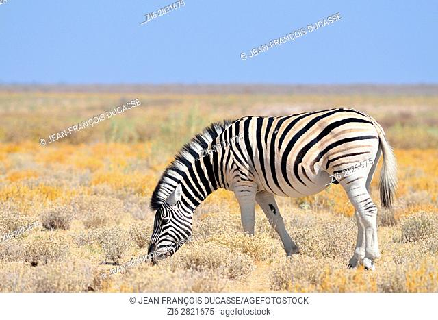 Burchell's zebra (Equus quagga burchellii), grazing, in the arid steppe, Etosha National Park, Namibia, Africa