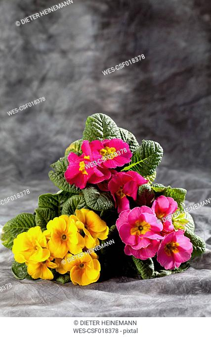 Variety of primrose on grey background, close up