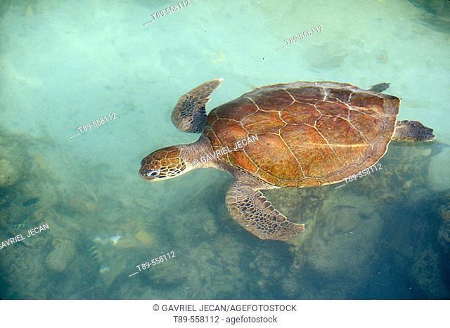 Central America, Panama, Bocas del Toro Islands, Green sea turtle (Chelonia myches)