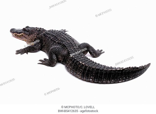 American alligator (Alligator mississippiensis), cut-out, USA, California