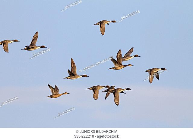 Northern Pintail (Anas acuta) drakes in winter plumage and females in flight), Nationalpark Waddensea, Germany