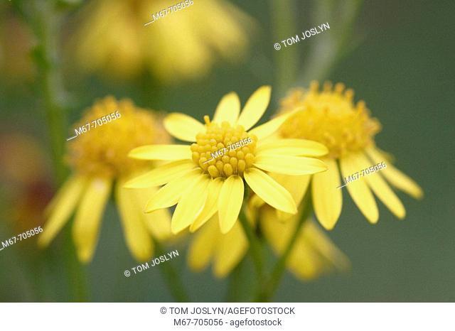 Common Ragwort (Senecio jacobaea) in flower. England , UK
