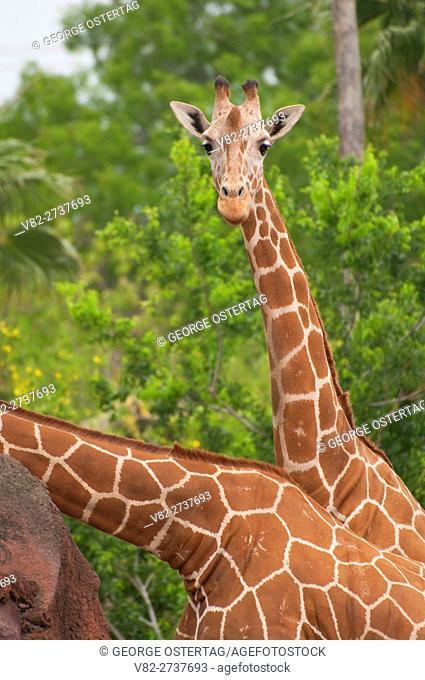 Reticulated giraffe (Giraffa camelopardalis reticulata), Gladys Porter Zoo, Brownsville, Texas