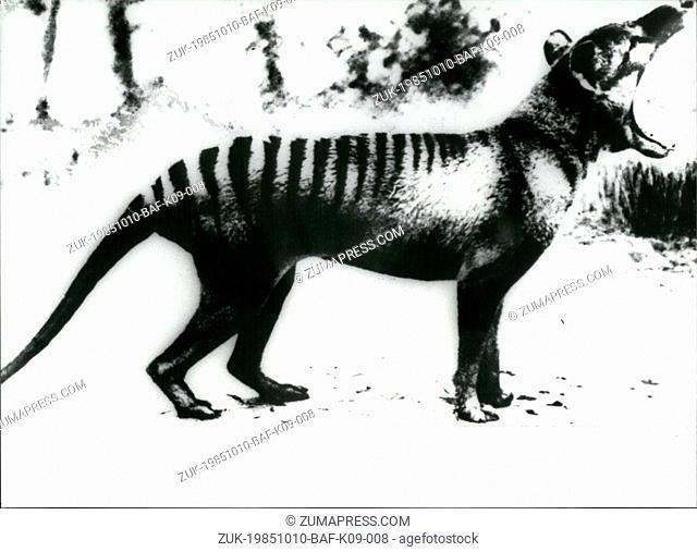 Oct. 10, 1985 - 100,000hBchunt on Tasman tiger: The last seen Tasman tiger, a mixture of a wolf and a marsupial, has died in 1937 in the zoo of Hobart