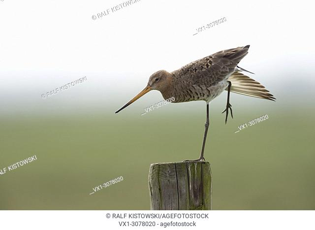 Black-tailed Godwit / Uferschnepfe ( Limosa limosa) in breeding plumage, perched on an old fencepost, stretching in soft morning light