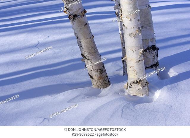 Winter shadows in a birch woodlot, Greater Sudbury, Ontario, Canada