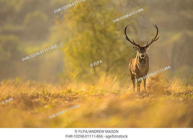 Red Deer (Cervus elaphus) mature stag, standing in habitat, during rutting season, Bradgate Park, Leicestershire, England, October