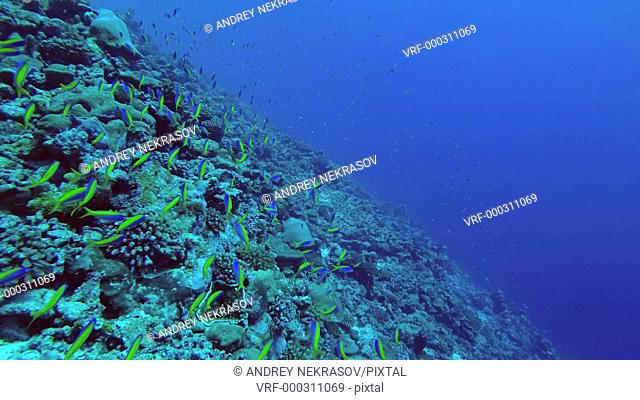 Massive school of Beautiful Fusilier swim over a beautiful coral reef in the blue water. Yellow and Blueback Fusilier or Beautiful Fusilier, Caesio teres