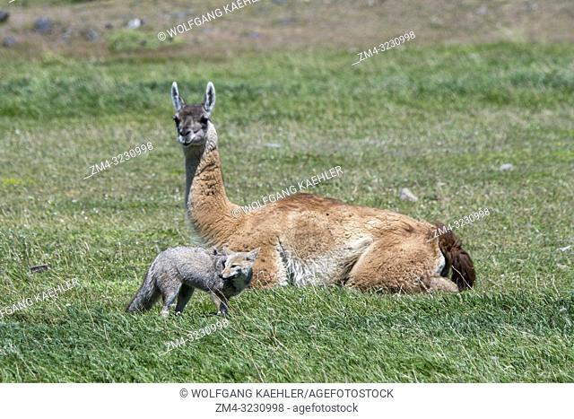 A Gray fox (Urocyon cinereoargenteus), or grey fox, is looking for food in the grass of Torres del Paine National Park in southern Chile with a guanaco in the...