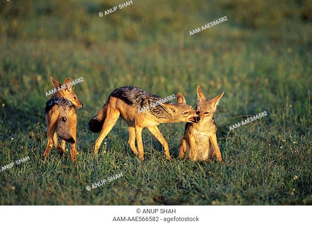 Black-backed Jackals playing {Canis mesomelas}, Masai Mara, Kenya
