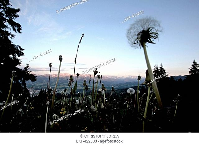 Dandelion clock on a meadow in the mountains, Oberberg, Bavaria, Germany