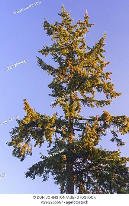 Fir trees overlooking the Nanaimo River Estuary, Living Forest Campground, Nanaimo, British Columbia, Canada
