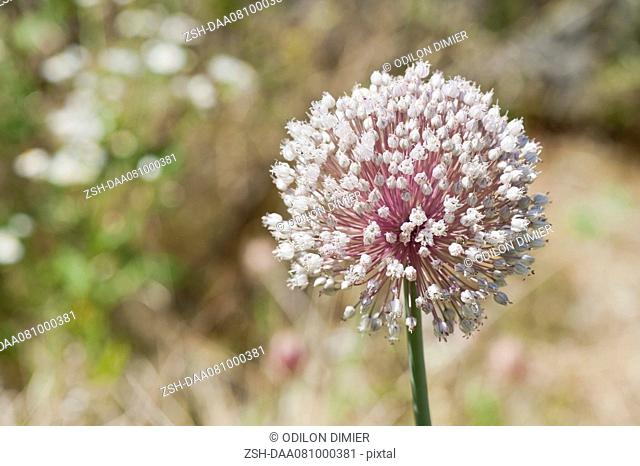 Leek flower allium