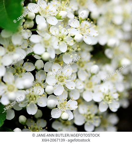 charming pyracantha flowers in spring