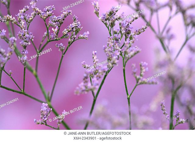 limonium overig maine blue, long-lived, violet meadow flower, the language of flowers symbolises remembrance