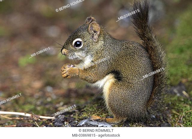 USA, Alaska, of Tongass National Forest, North American red-croissant, Tamiasciurus hudsonicus, side-opinion, North America, forest-ground, ground, animals