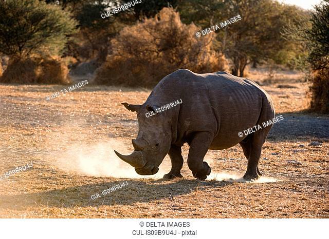 White rhinoceros (Ceratotherium simum) pawing dust, Kalahari, Botswana
