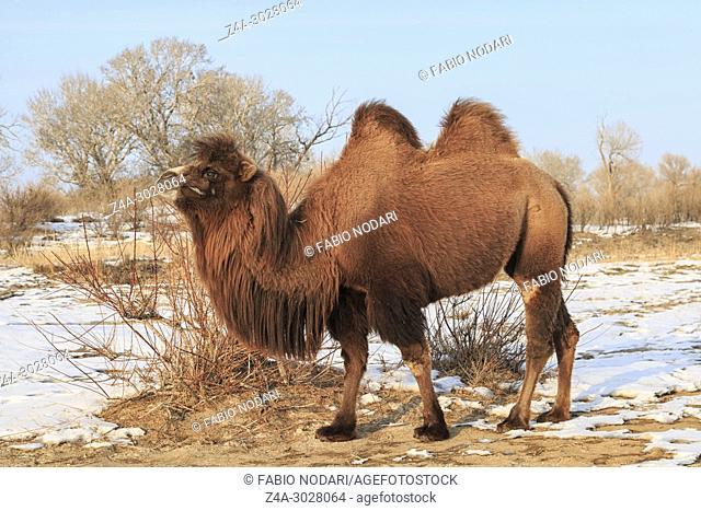 Two-humped Bactrian Camel in Xinjiang, China (Camelus bactrianus)