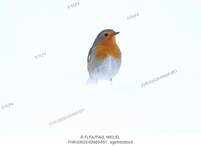 European Robin Erithacus rubecula adult, standing in heavy snow, Yorkshire, England, january
