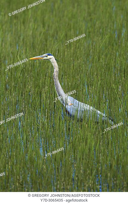 A great blue heron wades in water and grass at Wolf Lodge Bay area near Coeur d'Alene, Idaho