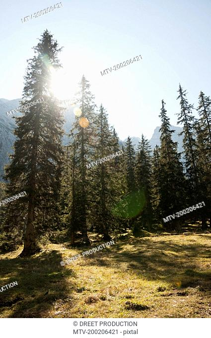 Sun shining through spruce trees, Bavarian alps, Bavaria, Germany