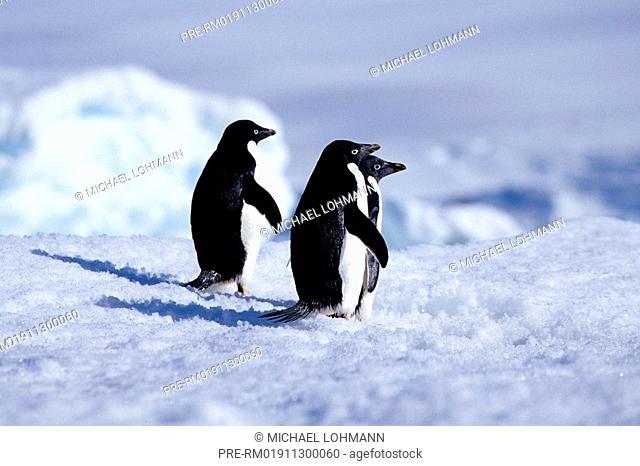 Adelie Penguin, Pygoscelis adeliae