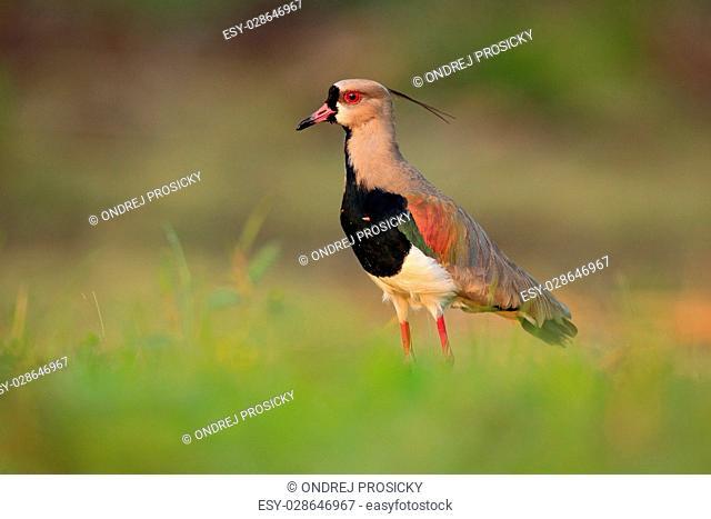 Southern Lapwing, Vanellus chilensis, water exotic bird during
