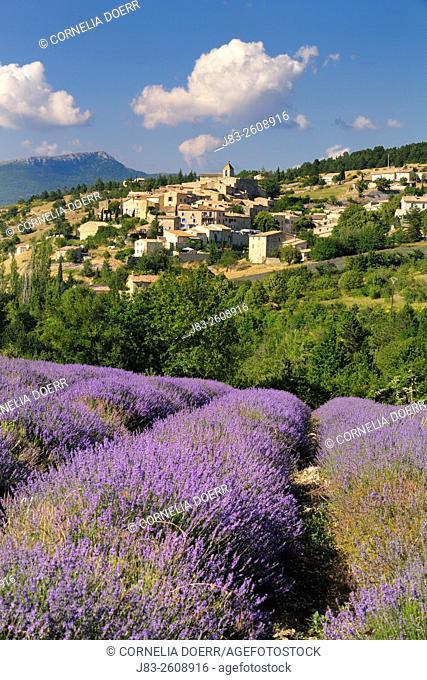 Lavender field and (Lavendula augustifolia) Village Aurel, in background, Plateau de Vaucluse, Alpes-de-Haute-Provence, Provence-Alpes-Cote d'Azur, Provence