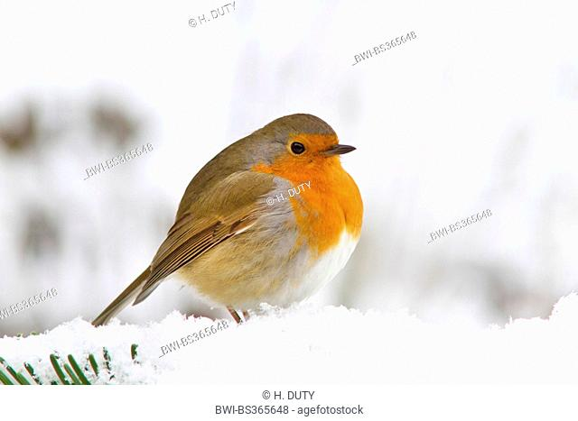 European robin (Erithacus rubecula), fluffed robin in snow, Germany