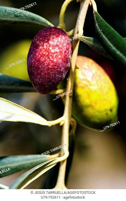 Picual olives. Casa Buendia, Villena, Alicante province, Comunidad Valenciana, Spain