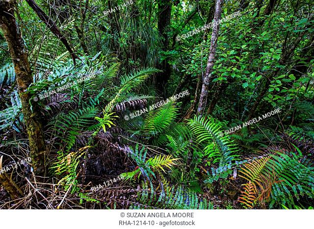 Waipoua Kauri Forest, Northland, North Island, New Zealand, Pacific