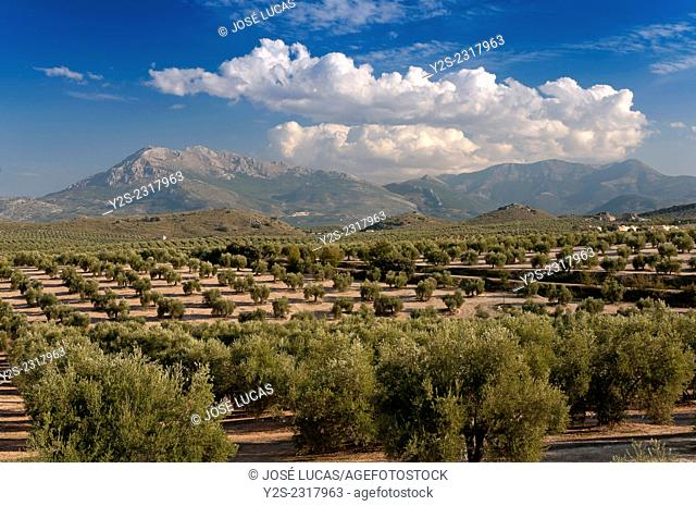 Olive grove and Sierra Magina Natural Park, Mancha Real, Jaen province, Region of Andalusia, Spain, Europe