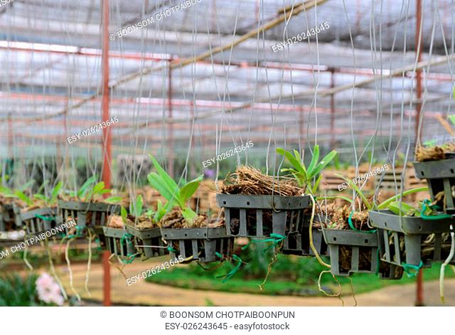Dendrobium Orchid seedlings plant nursery in greenhouse