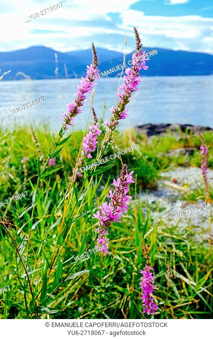 Flowers over the rocks on the shores of Lake Maggiore, Italy