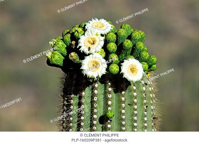 Saguaro cactus (Carnegiea gigantea / Cereus giganteus / Pilocereus giganteus) blooming, showing buds and bees pollinating white flowers, Sonoran desert, Arizona