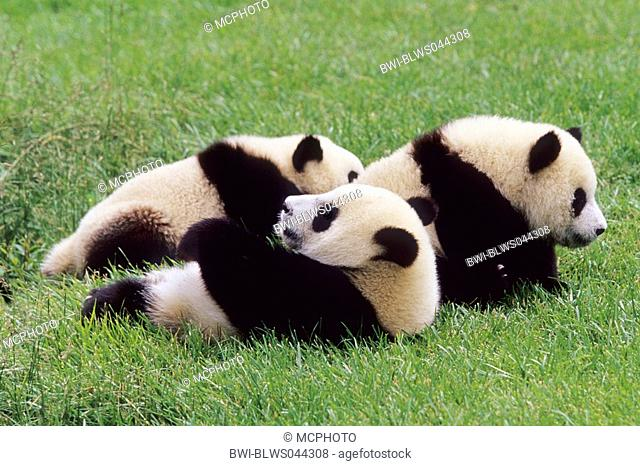 giant panda Ailuropoda melanoleuca, three eight months old Giant Pandas in the research station of Wolong, national animal of China, China, Sichuan, Wolong