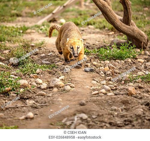 South American coati (Nasua nasua), also known as the ring-tailed coati. Wildlife animal