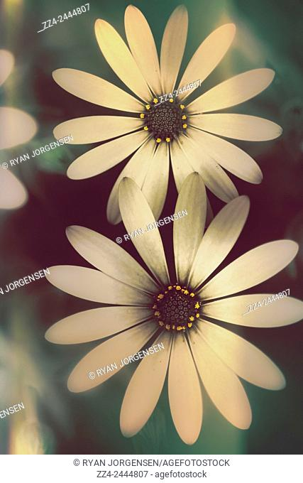 Light leaks nature photograph of two daisies growing in a spring garden field. Springtime blooms