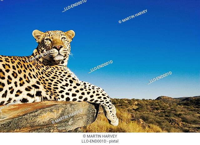 Leopard Panthera pardus Lying on Rock  Harnas Wildlife Sanctuary, Namibia, Southern Africa