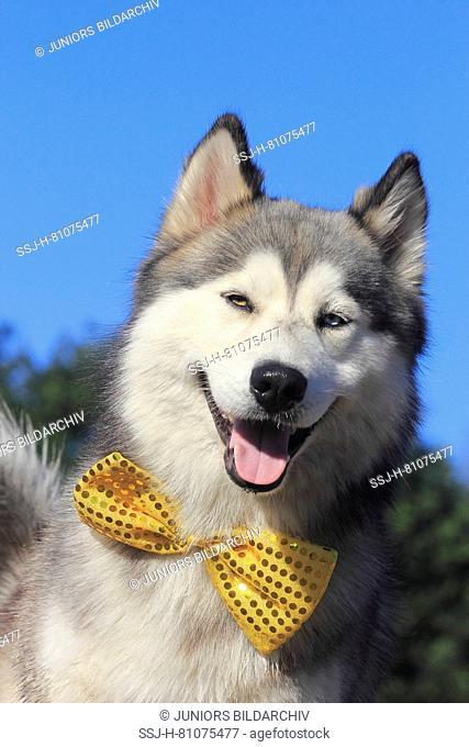 Siberian Husky Mix Dog Stock Photos And Images Age Fotostock
