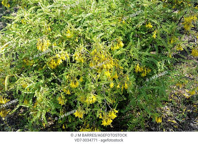 Toromiro (Sophora toromiro) is a tree endemic to Easter Island but extinct in the wild. Flowers and leaves detail