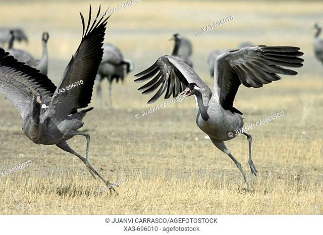 Common Crane (Grus grus) fighting. Gallocanta,  Zaragoza province, Aragon, Spain