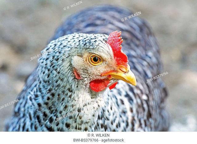 domestic fowl (Gallus gallus f. domestica), portrait of a hen, Germany, North Rhine-Westphalia