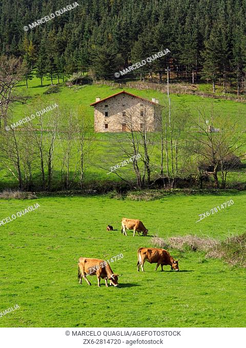 Cattle at meadow and typical basque farmhouse or Caserio. Axpe village countryside. Urkiola Natural Park. Bizkaia province. Euskadi. Spain