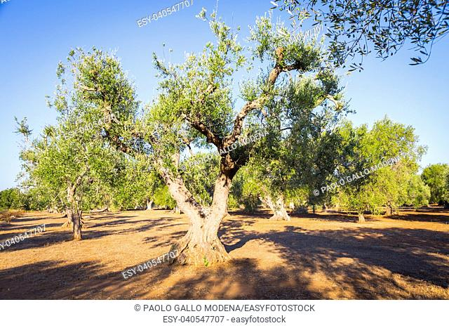 Olive trees in Puglia Region, South Italy - more than 200 years old. Summer season, sunset natural light