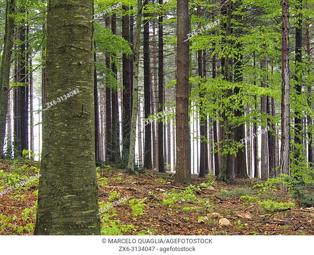 European silver fir forest (Abies alba) with some beech trees at Pla del Rovirol area. Montseny Natural Park. Barcelona province, Catalonia, Spain