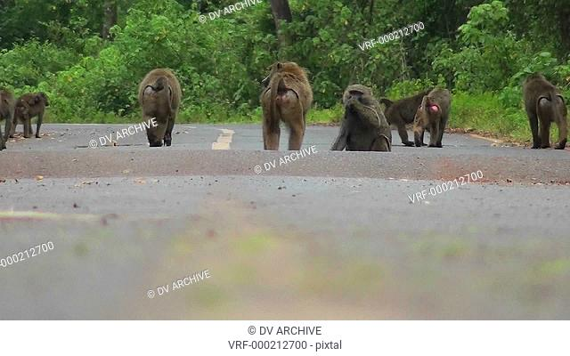 Baboons play and chase each other along a road in Africa