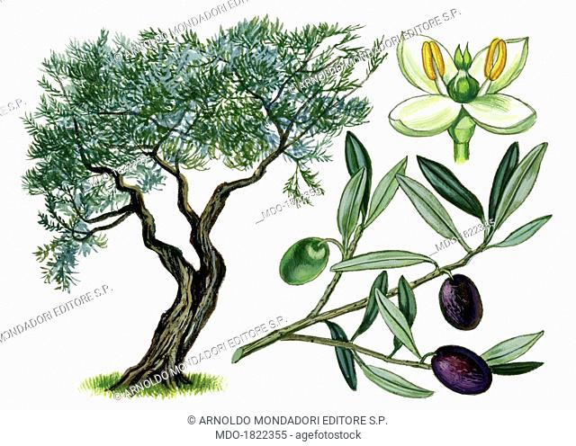 Olive (Olea europaea), by Giglioli E., 20th Century, ink and watercolour on paper. Whole artwork view. Drawing of the plant with fruits, leafs and flowers