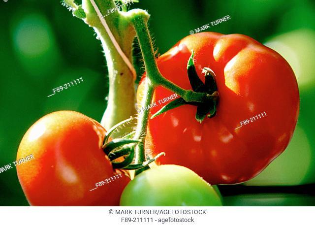 Organic tomatoes (Lycopersicon escolentum) ripening on vine. Langley. British Columbia. Canada